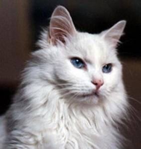 Tips Usaha Kucing Anggora Murah, Anda harus Pelajari Dan Terapkan