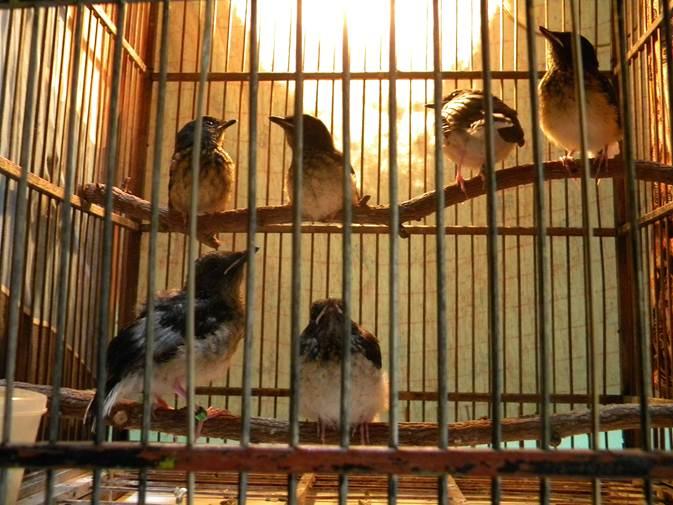 Usaha Budidaya Dan Perawatan Burung Murai Batu Medan Masih Bakalan